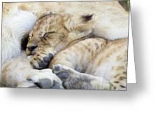 African Lion Cub Sleeping Greeting Card