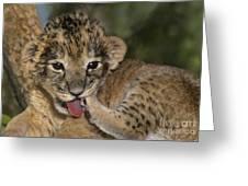 African Lion Cub Wildlife Rescue Greeting Card