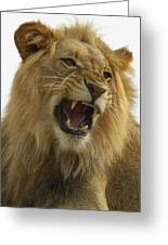 African Lion Male Growling Greeting Card by San Diego Zoo