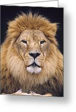 African Lion Male Portrait Greeting Card