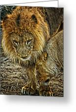 African Lions 6 Greeting Card