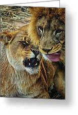 African Lions 7 Greeting Card