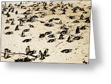 African Penguins Greeting Card by Oliver Johnston