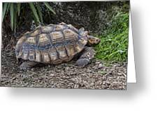 African Spurred Tortoise Greeting Card