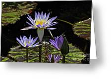African Waterlily Dazzle -- Plus Dragonfly Greeting Card