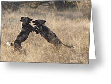 African Wild Dogs Playing Lycaon Pictus Greeting Card