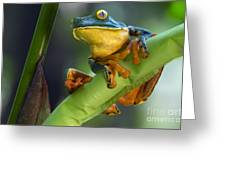 Agalychnis Calcarifer 4 Greeting Card