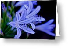 Agapanthus Blue Greeting Card