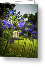 Agapanthus In The Garden Greeting Card