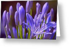 Agapanthus - Lily Of The Nile - African Lily Greeting Card