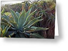 Agave At Sunset Greeting Card