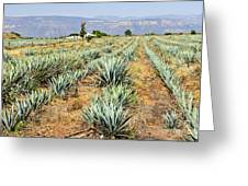 Agave Cactus Field In Mexico Greeting Card