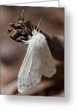 Agreeable Tiger Moth Greeting Card