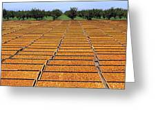Agriculture - Blenheim Apricots Greeting Card