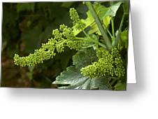 Agriculture - Cluster Of Wine Grape Greeting Card