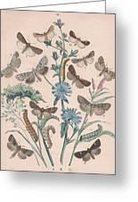 Agrotidae - Hadenidae Greeting Card