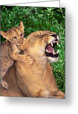 Ah Being A Mother Is Wonderful African Lions Wildlife Rescue Greeting Card