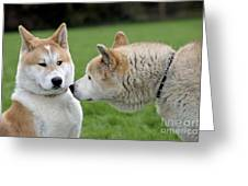 Akita Inu Dogs, Old And Young Greeting Card