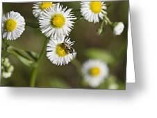 Alabama Wildflower Robin's Plantain - Erigeron Pulchellus Greeting Card