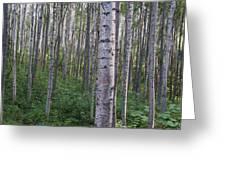 Alaska - A Dense Grove Of Birch Trees Greeting Card