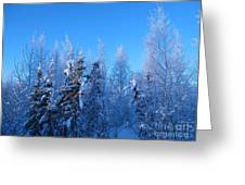 Alaska Sunrise Illuminating Spruce Trees Among Birches Greeting Card