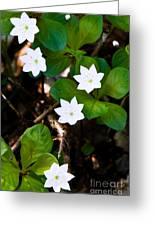 Alaska Wild Flower Greeting Card by Chris Heitstuman