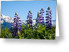 Alaskan Lupin Greeting Card by Chris Heitstuman