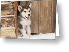 Alaskan Malamute Puppy Greeting Card