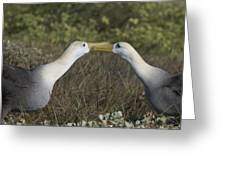 Albatross Perform Courtship Ritual Greeting Card