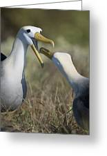 Albatross Perform Mating Ritual Greeting Card