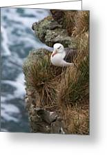 Albatross Rookery Greeting Card