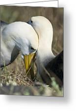 Albatrosses Snuggle Greeting Card