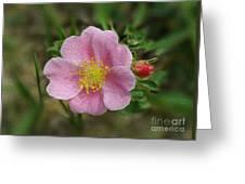 Alberta's Wild Rose Greeting Card