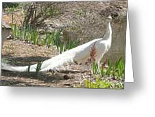 Albino Peacock Greeting Card