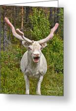 Albino Reindeer Greeting Card