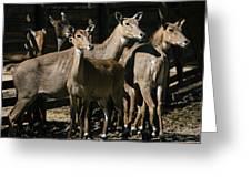 Alert Antelopes Greeting Card