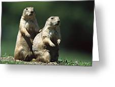 Alert Black-tailed Prairie Dogs Greeting Card