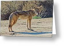 Alert Coyote Greeting Card
