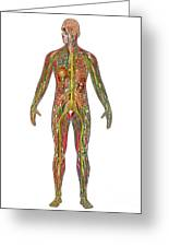 All Body Systems In Male Anatomy Greeting Card