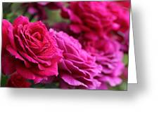 All The Fuchsia Pink Roses  Greeting Card