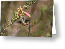 Allen Hummingbird In Flight Greeting Card