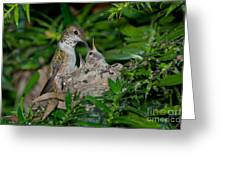 Allens Hummingbird Feeds Young Greeting Card