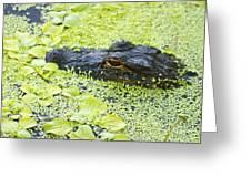 Alligator In Duckweed Looking At Me Greeting Card