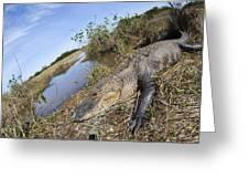 Alligator In Everglades Greeting Card