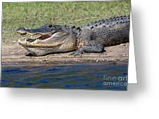 Alligator Sunning Greeting Card