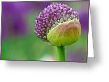 Allium Blooming Greeting Card