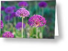 Allium Flowers - Featured 3 Greeting Card