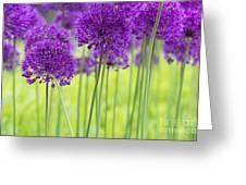 Allium Hollandicum Purple Sensation Flowers Greeting Card
