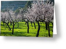 Almond Trees In Bloom Greeting Card