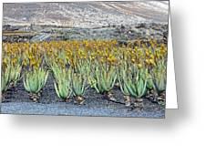 Aloevera Plantation Lanzarote Greeting Card